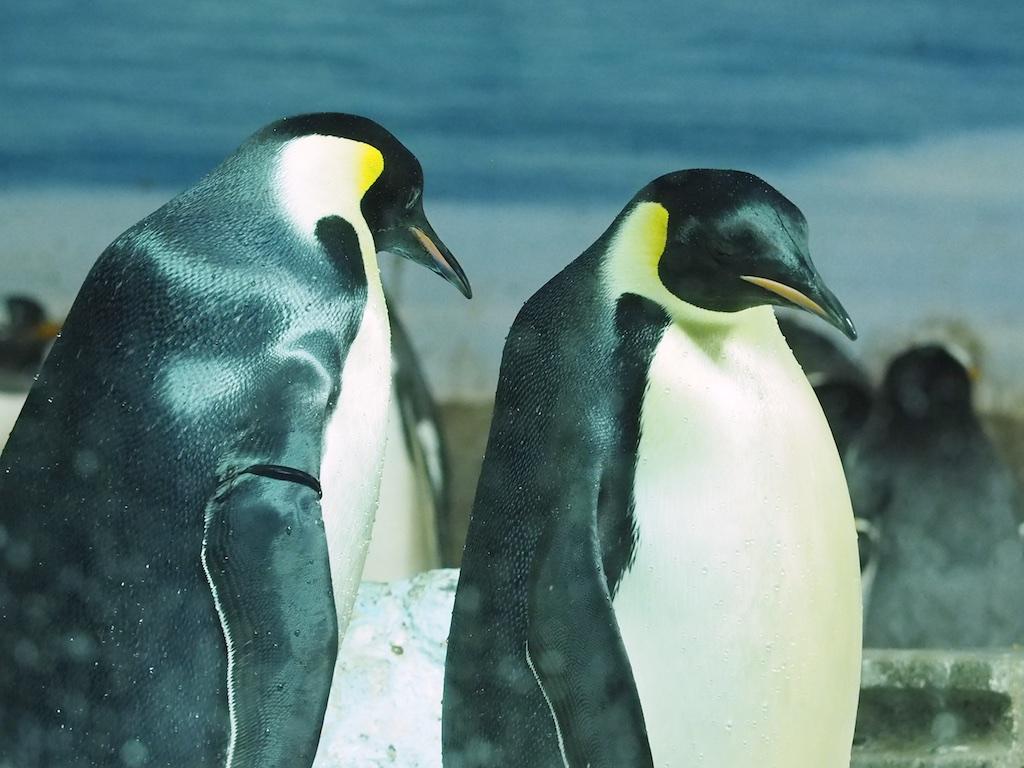 Emperor Penguin Nagoya
